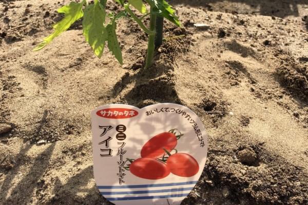 【三光不動産コンセプトハウス】畑日記 『ミニトマトが…。』